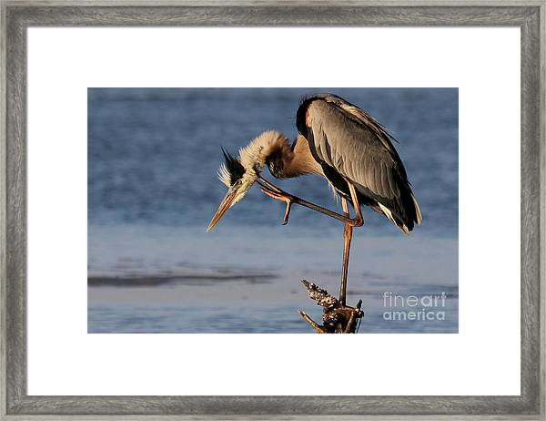 Itchy - Great Blue Heron Framed Print