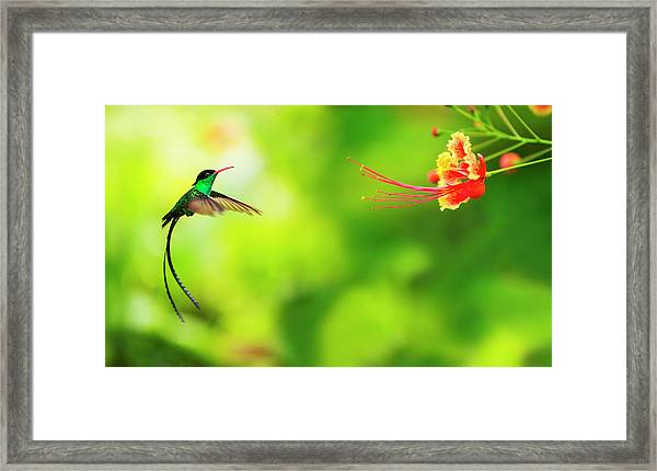 Jamaica, Hummingbird In Flight Framed Print