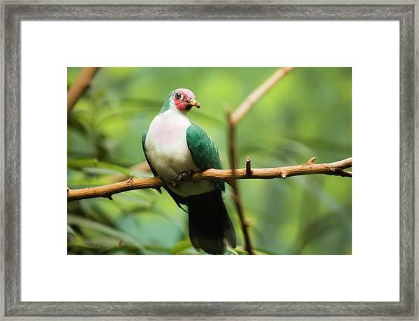 Jambu Fruit Dove Ptilinopus Jambu Framed Print by By Ken Ilio