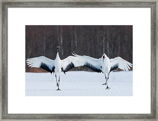 Japanese Cranes Standing Upright Framed Print by Mint Images - Art Wolfe