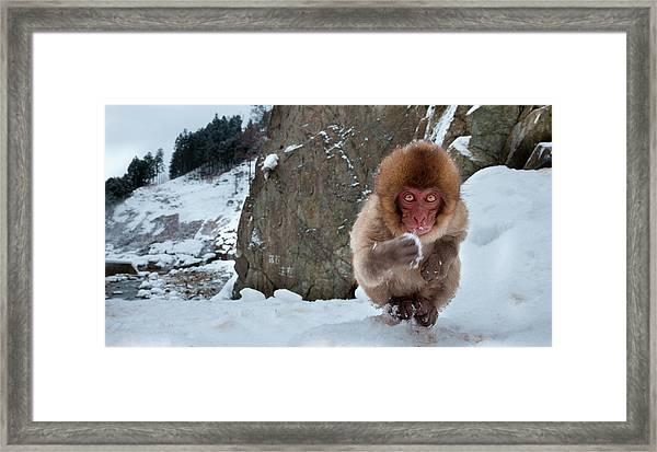Japanese Macaque, Honshu Island, Japan Framed Print