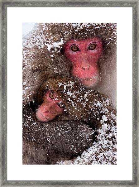 Japanese Macaques, Honshu Island, Japan Framed Print