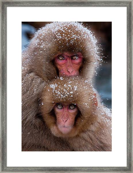 Japanese Macaques, Japanese Alps Framed Print