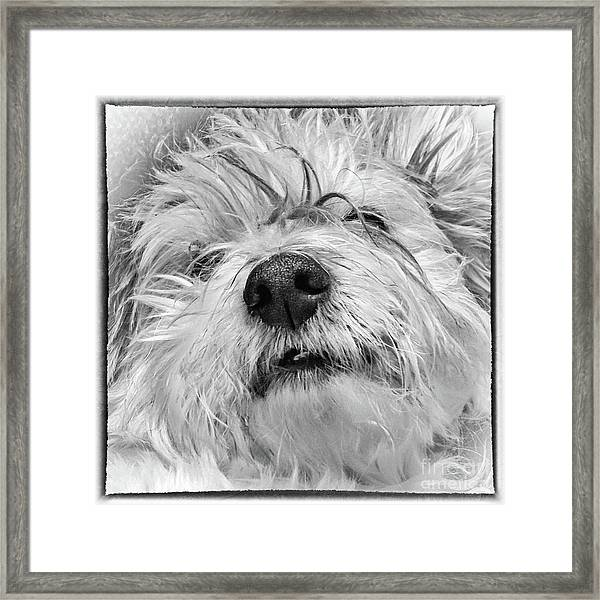 Coton De Tulear Dog Framed Print