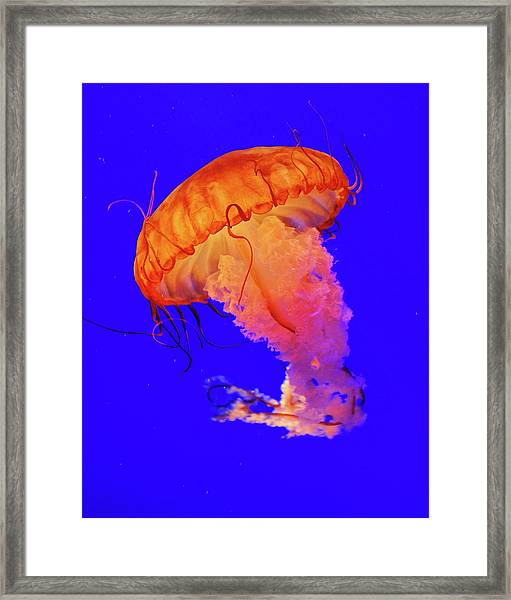 Jelly Fish Framed Print by Davidhuiphoto