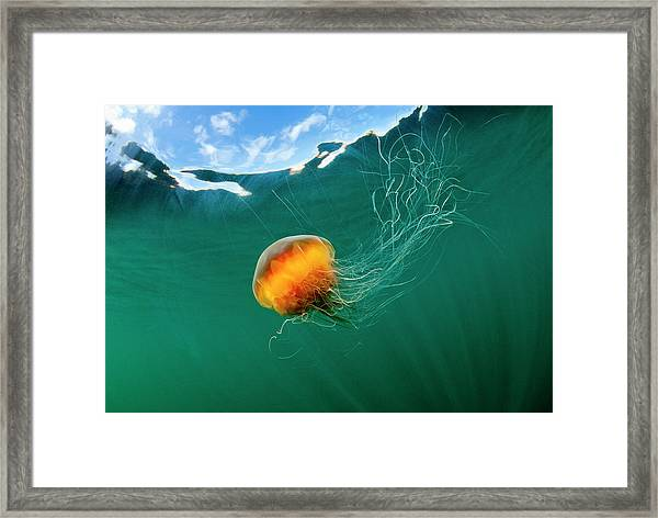 Jellyfish, Alaska Framed Print by Paul Souders