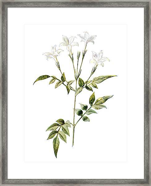 Jessamine Flower Framed Print