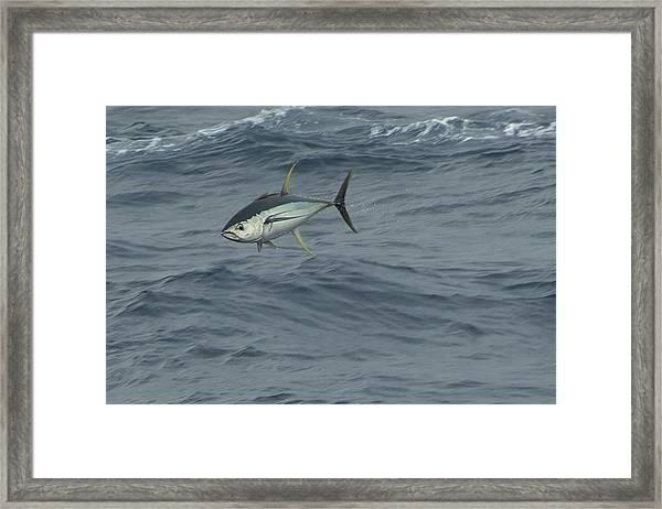 Jumping Yellowfin Tuna Framed Print