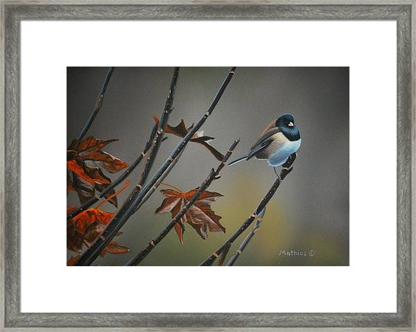 Junco Framed Print