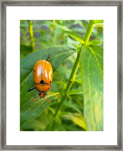 June Bug Framed Print