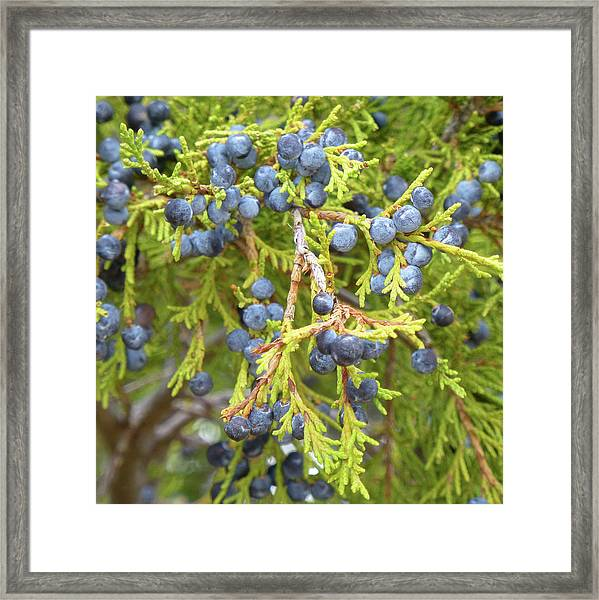 Juniper Berries Framed Print
