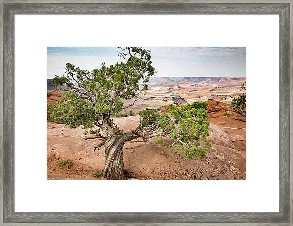 Juniper Over The Canyon Framed Print