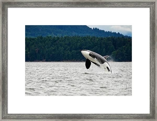 Killer Whale Breaching Near Canadian Framed Print