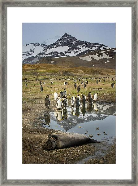 King Penguin Rookery Framed Print by Tom Norring