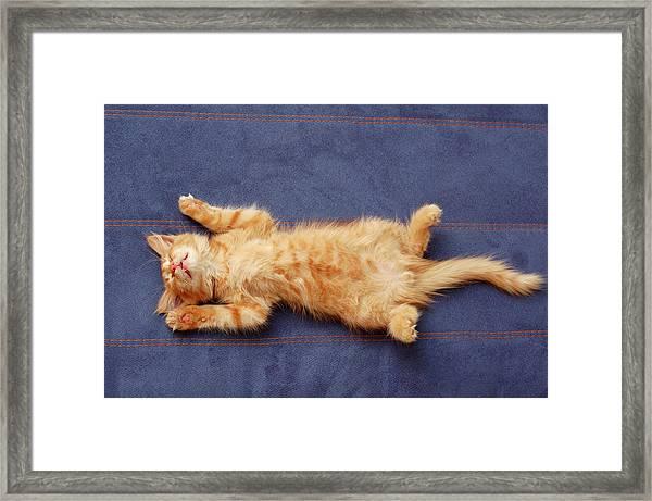 Kitten Sleeps On The Back Framed Print