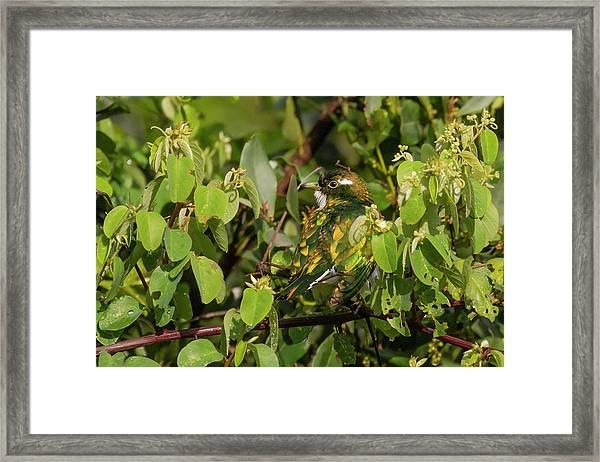 Klaas's Cuckoo Framed Print