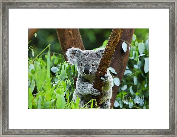 Koala Bear In The Zoo Framed Print