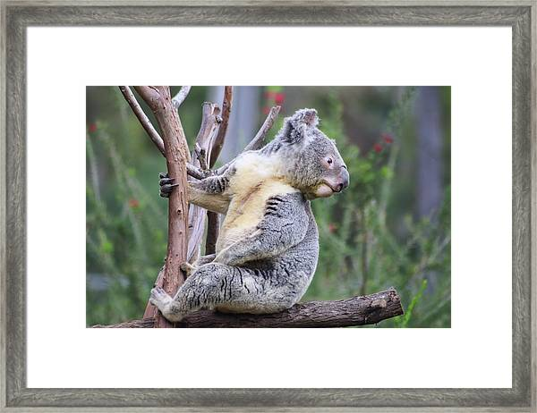 Framed Print featuring the photograph Koala In Tree by Dawn Richards