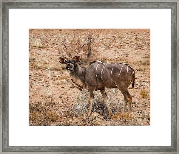 Kudu In The Kalahari Desert, Namibia Framed Print