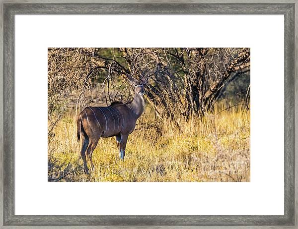 Kudu, Namibia Framed Print