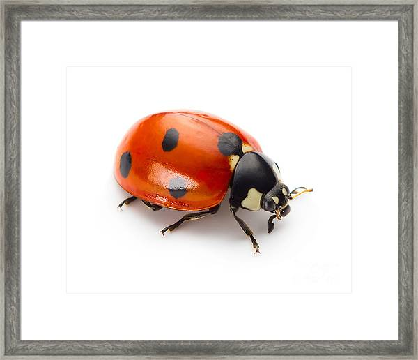 Ladybug Insect Isolated On White Framed Print