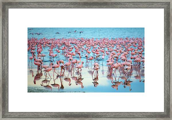 Lake Nakaru Flamingoes Framed Print by Grant Faint
