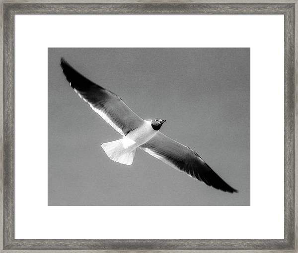 Laughing Seagull Framed Print