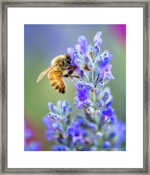 Framed Print featuring the photograph Lavender Bee by Nicole Young