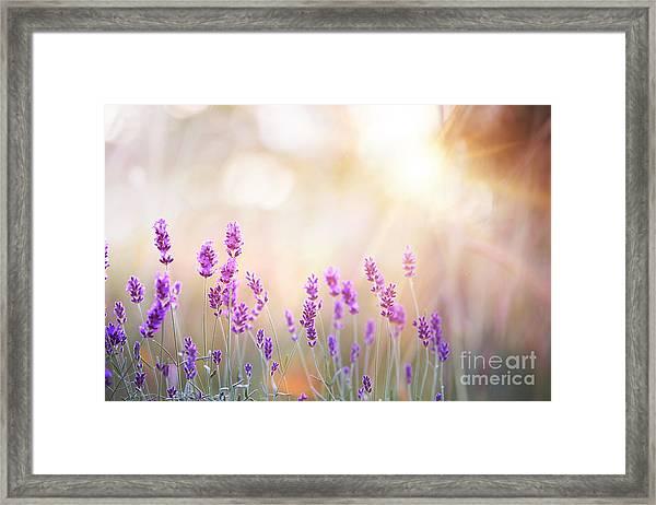 Lavender Bushes Closeup On Sunset Framed Print