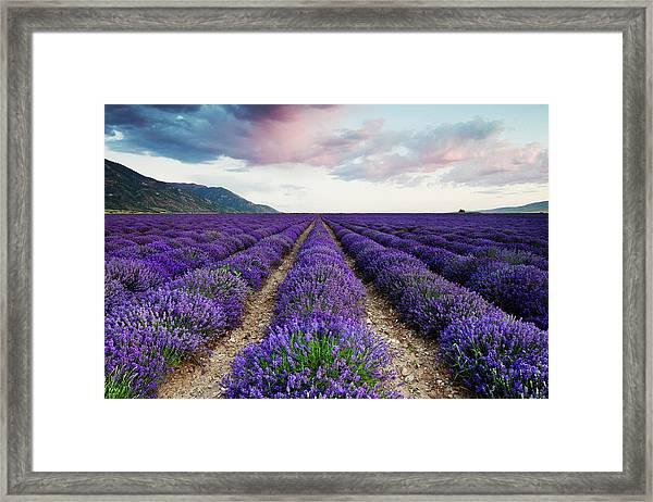 Lavender Field Framed Print