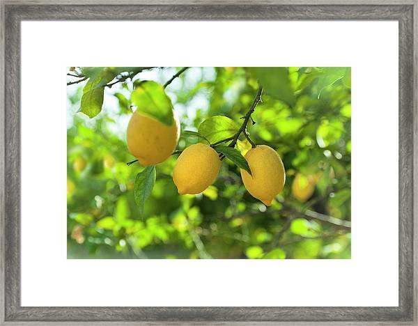 Lemon Fruits In Orchard Framed Print