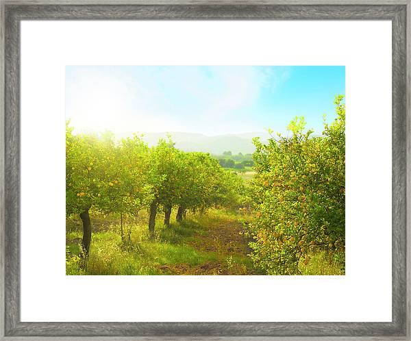 Lemon Orchard Framed Print