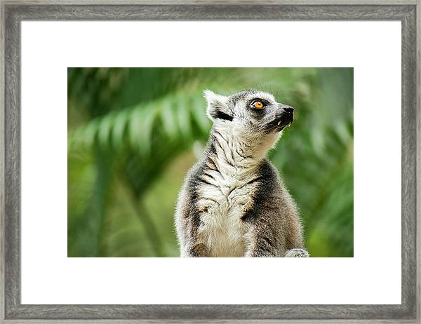 Framed Print featuring the photograph Lemur By Itself Amongst Nature. by Rob D Imagery