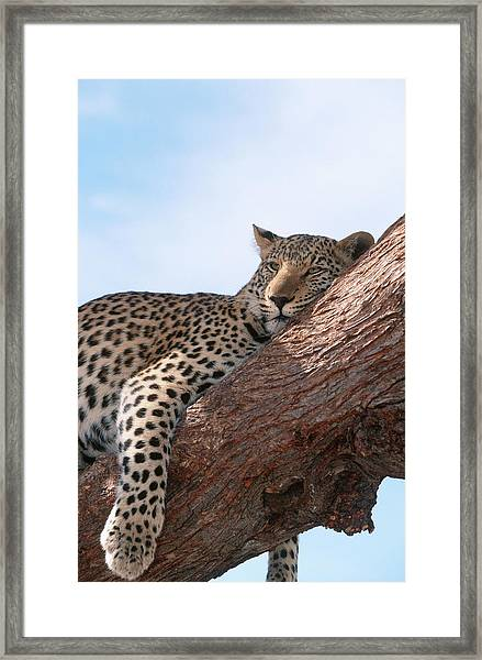 Leopard Panthera Pardus Relaxing In A Framed Print