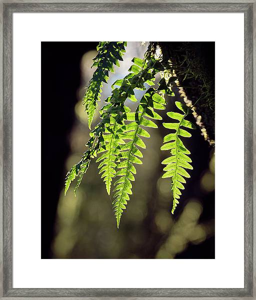 Framed Print featuring the photograph Licorice Fern by Whitney Goodey