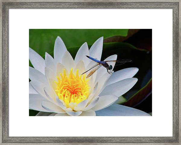 Lily And Dragonfly Framed Print
