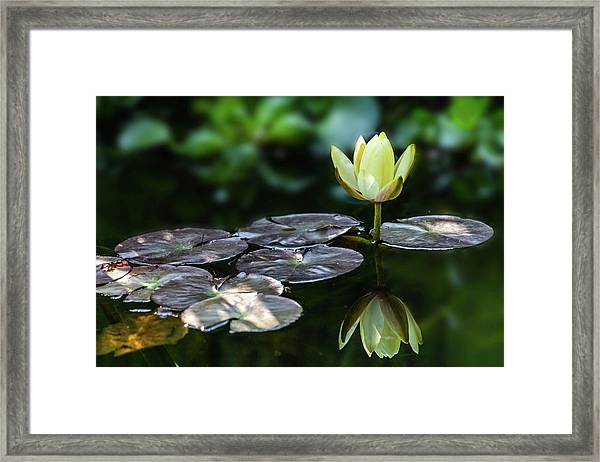 Lily In The Pond Framed Print