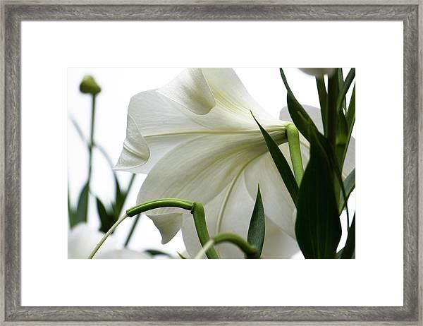 Lily_644_18 Framed Print