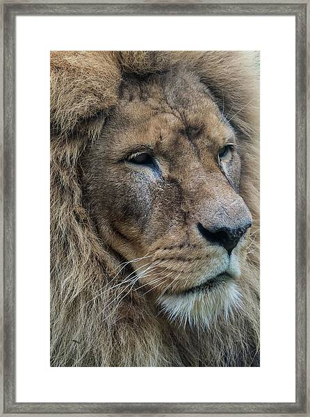 Framed Print featuring the photograph Lion by Anjo Ten Kate