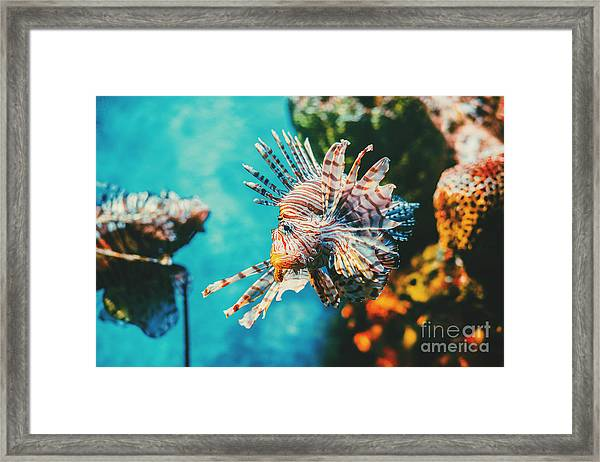 Lion Fish Hunting Among Coral Reefs Framed Print