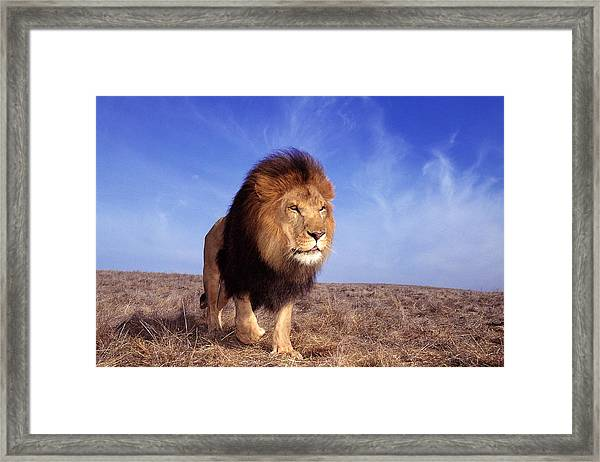 Lion Panthera Leo Framed Print