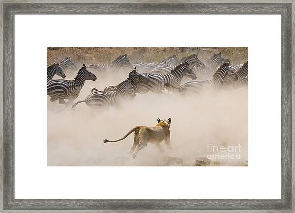 Lioness Attack On A Zebra. National Framed Print