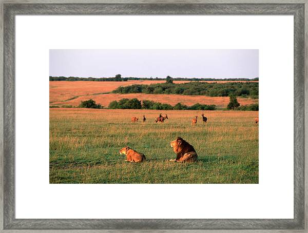 Lions And Lioness Panthera Leo Watching Framed Print by Martin Harvey