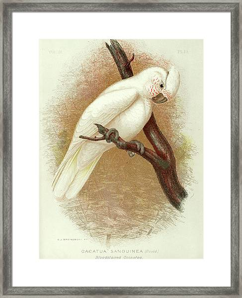 Little Corella Framed Print