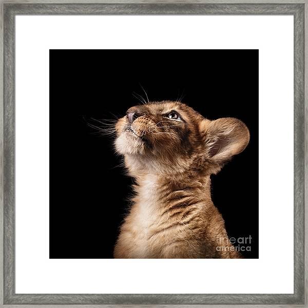 Little Lion Cub In Studio On Black Framed Print