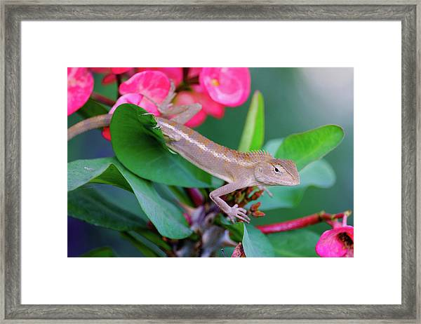 Framed Print featuring the photograph Little Lizard by Nicole Young