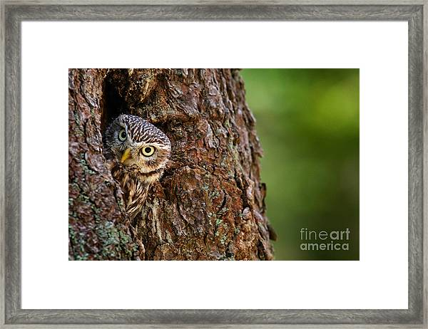 Little Owl, Athene Noctua, In The Framed Print