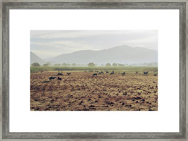 Livestock On A Farm Land Near Jacmel Framed Print