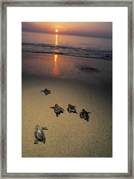 Loggerhead Turtle Hatchlings Crawl Framed Print