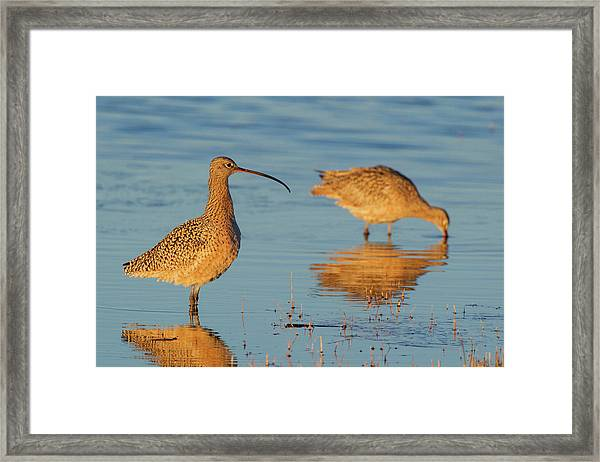Long-billed Curlew Pair Foraging Framed Print
